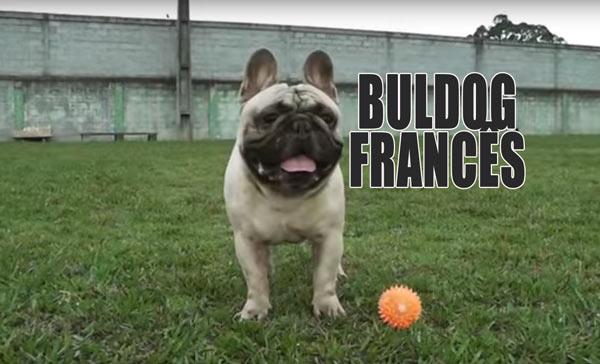 VET Jornal mostra a criação de bulldog francês.