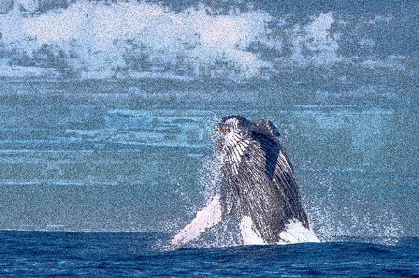 Turismo de observação de baleias foi sucesso no litoral da capital em 2019