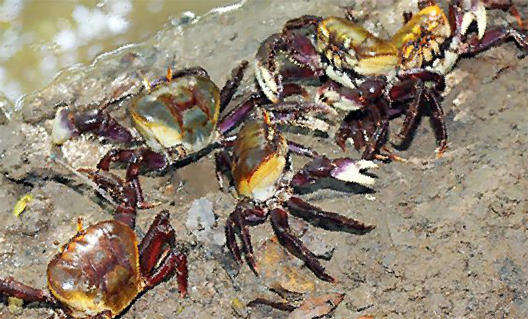 Começa ultima andada do caranguejo; captura e comércio proibidos