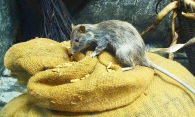 ratos_repcap