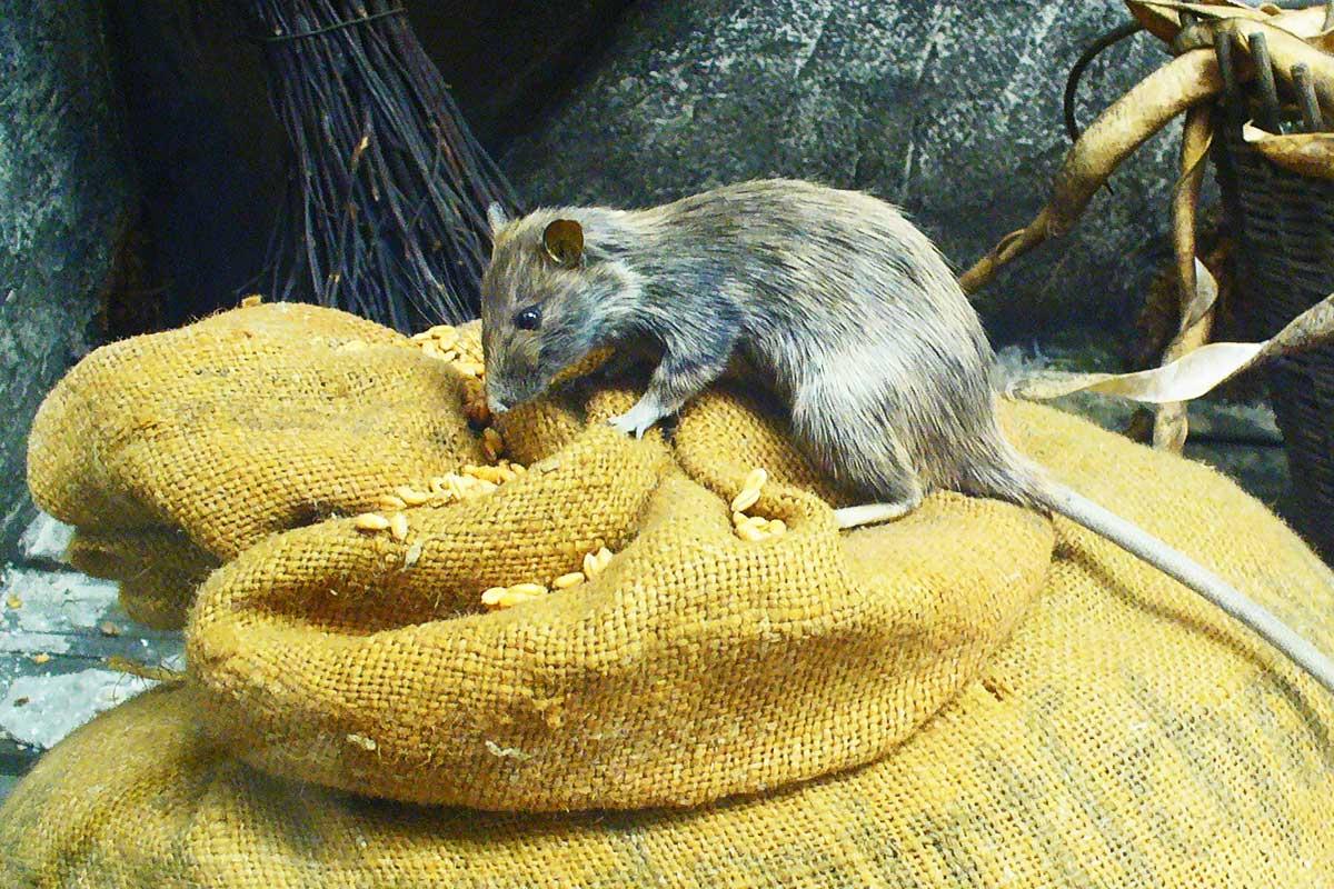 Vitória faz campanha para combater ratos