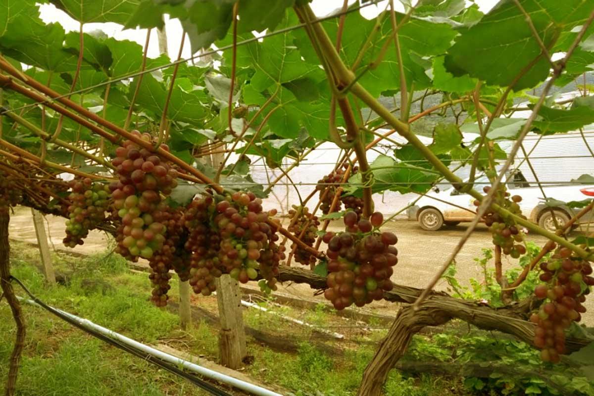 Guarapari incentiva a vinicultura